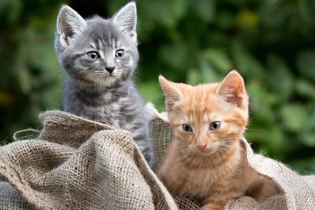 Katzenbaby Geschwister im Spiel