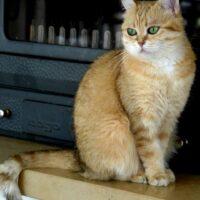 200 € - weibl.BKH Katze golden shaded, 5 Jahre alt, kastriert,mit Papiere, sucht ein neues Zuhause